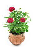 Red roses in pot Royalty Free Stock Images
