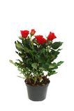 Red roses in the pot isolated Stock Photography