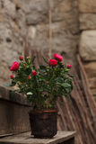 Red roses in pot on the street Stock Image