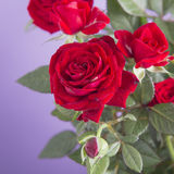 Red roses on a purple background Stock Photo