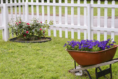 Red Roses and Purple Petunias. Red Rose bush in corner of white picket fence and a wheelbarrow full of purple petunias in the yard Royalty Free Stock Images