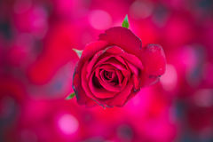 Red roses on red bokeh background,Retro vintage , Royalty Free Stock Images