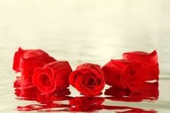 Red roses with reflection Stock Photography