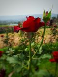 Rose. Red roses represent feelings in love royalty free stock photos