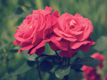 Red roses retro style Stock Photos