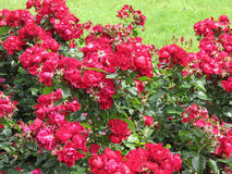 Red roses. Rose bushes in the Park Royalty Free Stock Images
