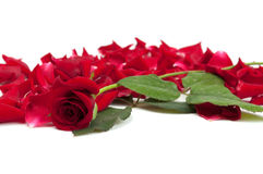 Red roses and rose petals. On white background royalty free stock photography