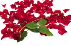 Red roses and rose petals Stock Images