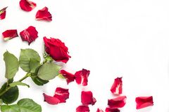 Red roses and rose petals isolated on white. With copy space anniversary arrangement flat flower lay birthday background decoration love valentine spring nature royalty free stock photography