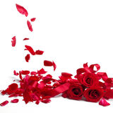 Red roses and rose petals on white background Stock Photos