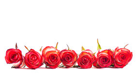 Red roses in a row Stock Photography