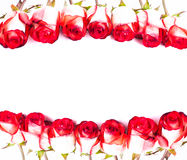 Red roses in a row Royalty Free Stock Photo