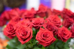 Red roses with in the rows look majestically. Red roses with in rows look majestically magical portrait lens in the evening light stock image