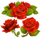 Red roses set. Vector red roses with dew on petals set Stock Image