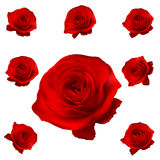 Red roses set isolated on white. EPS 10 Royalty Free Stock Image