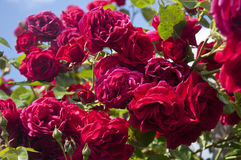 Red roses on a shrub. Close up photo of some red roses on a shrub stock images