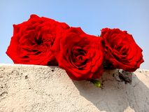 Red roses with sky. royalty free stock photo