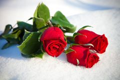 Red roses on snow. Royalty Free Stock Photos