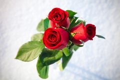 Red roses on snow. Royalty Free Stock Photo
