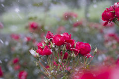 Red roses in the snow. Early snow in the rose garden stock photos