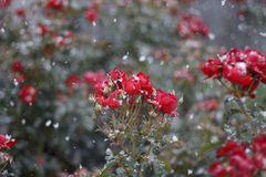 Red roses in the snow. Early snow in the rose garden royalty free stock image