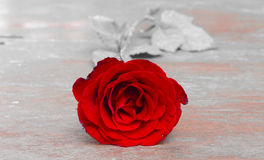 Red roses for someone you love. In the Valentine season Stock Images