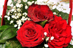 Red roses splendor of its beauty and freshness. Novi Sad, Serbia Stock Photos