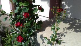 Red roses on the stairs stock photography