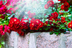 Red roses on stone wall in garden or park. Floral background. Stock Image