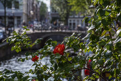 Red roses on the street in Amsterdam Stock Photography