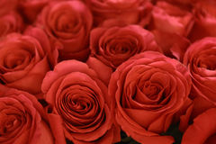 Red roses subtle background. Close up photo Royalty Free Stock Photos