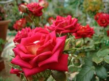 Red roses in the summer garden stock photography