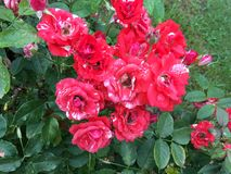 Red roses after summer rain royalty free stock images