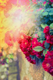 Red roses in sunlight on autumn garden or park. Nature background. Royalty Free Stock Photos