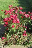 Red roses on sunny day in my front yard. Kragujevac, Serbia stock photos