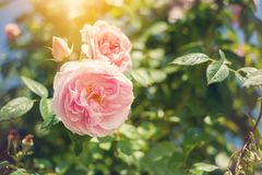 Red roses in garden. Red roses in sunny garden. Toned image in vintage style Stock Image