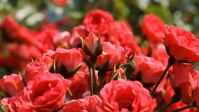 Red roses stock video