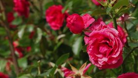 Red roses. Sway in wind stock video