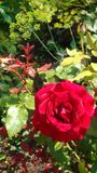 Red roses symbolize love stock image