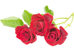 Red roses 3 Stock Image