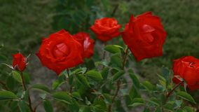 Red roses tossed on the wind. Ukraine stock footage