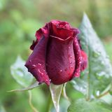 Charm of red velvet  rose with water drops of dew stock images