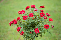 Red roses Royalty Free Stock Images