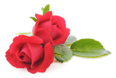 Red Roses. Two beautiful red roses on a white background Royalty Free Stock Photography