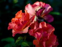 Red roses under summer evening sun royalty free stock image