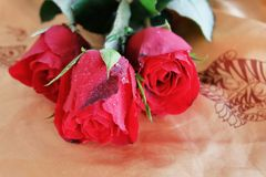 Red roses. Valentine hot love. Stock Images