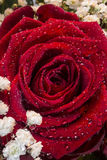 Red Roses - Valentines day. A red rose of the Genus Rosa, family Rosaceae. Red roses are often used as a symbol of love. Sent, often anonymously, on St royalty free stock photo