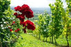 Red roses and vineyard Stock Photography