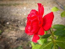 Red roses in the vineyards. Closeup royalty free stock photo