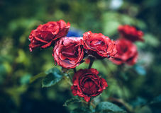 Red roses in vintage style Royalty Free Stock Image